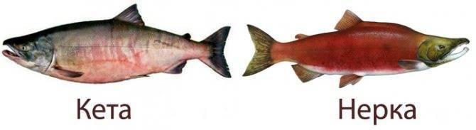 Рыба кета польза и вред - лечим алкоголизм