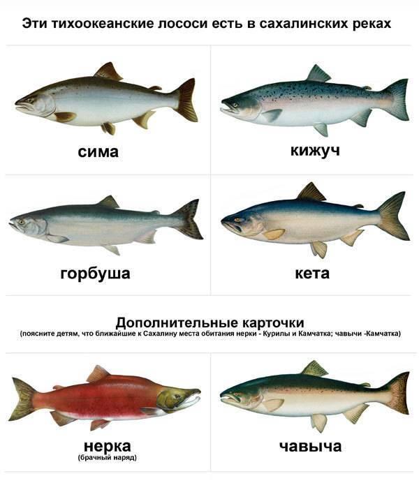 Что за рыба лосось? как приготовить и засолить к новогоднему столу