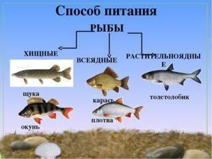 Сом – описание, виды, где обитает, чем питается, фото.