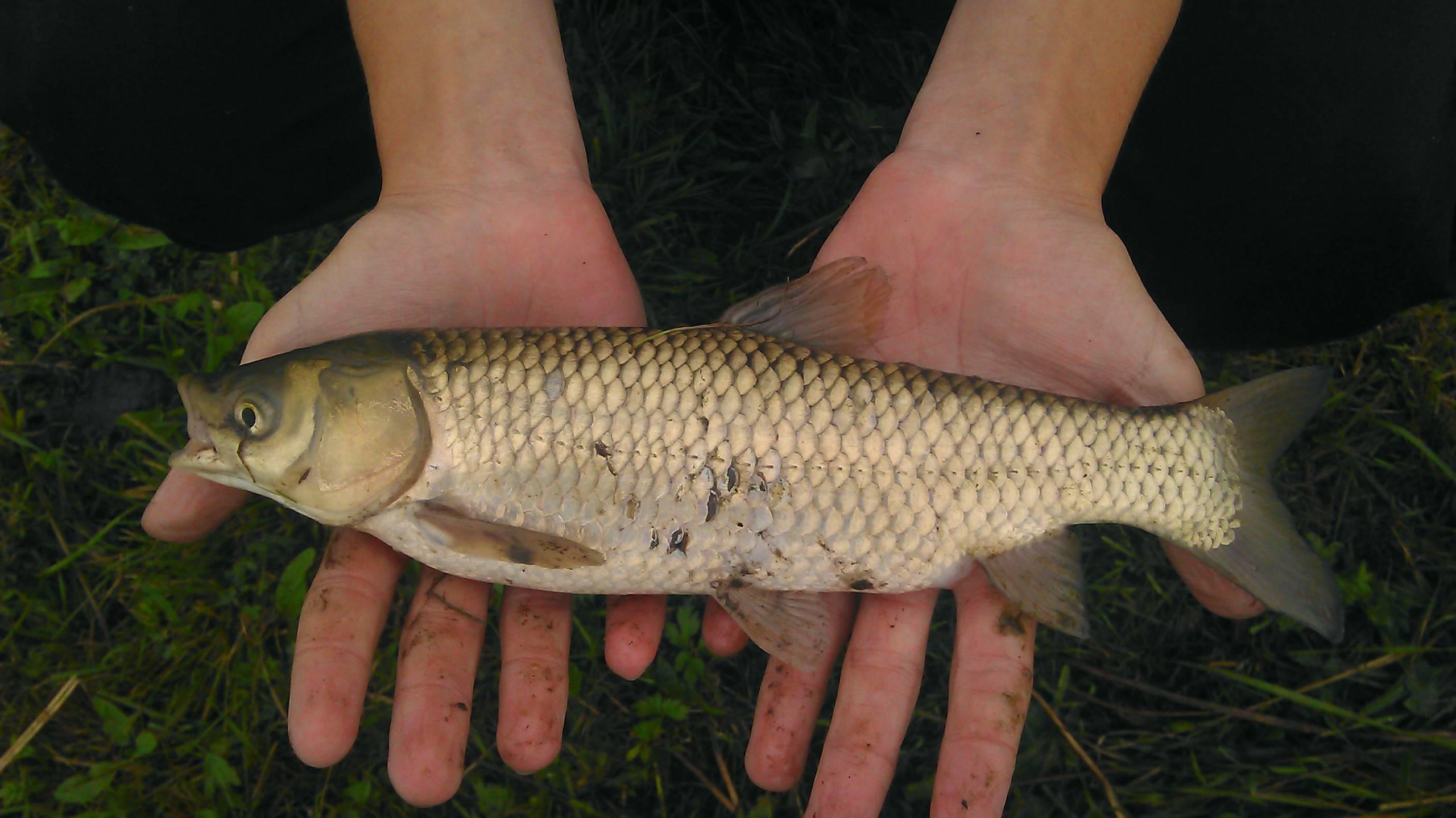Где обитает белый амур? на что ловить белого амура? советы рыбаков