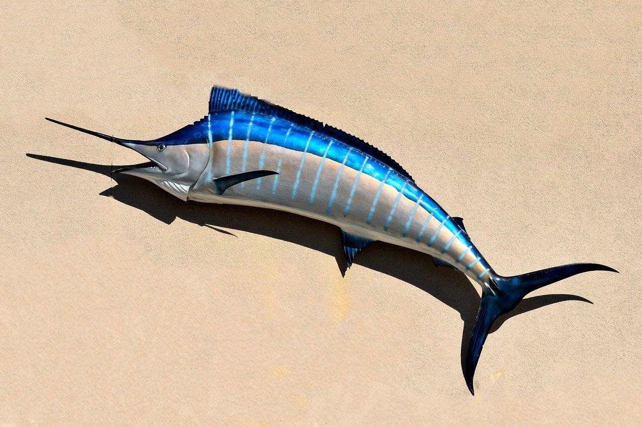 Марлин полосатый: описание, способы ловли и ареал обитания рыбы