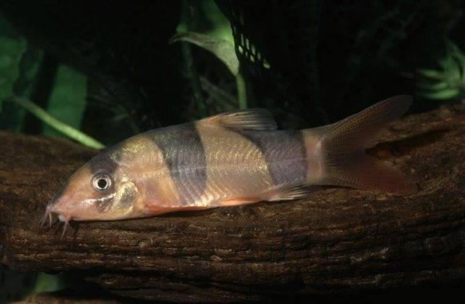 Коридорас: описание,виды,совместимость,содержание.   аквариумные рыбки