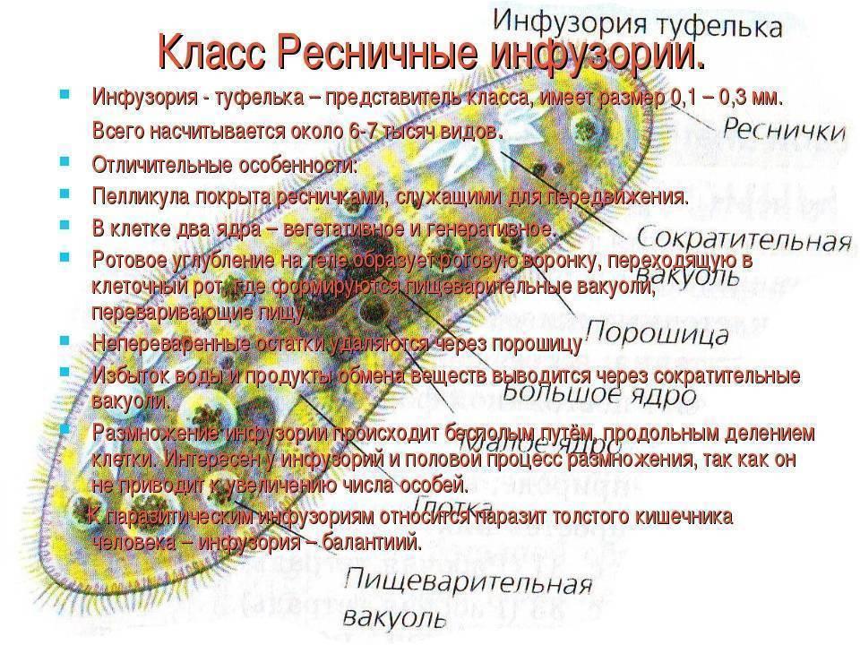 Инфузория туфелька. образ жизни и среда обитания инфузории туфельки