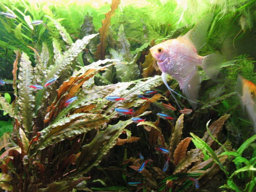 Совместимость гурами с другими рыбами