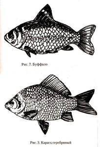 Буффало рыба размеры