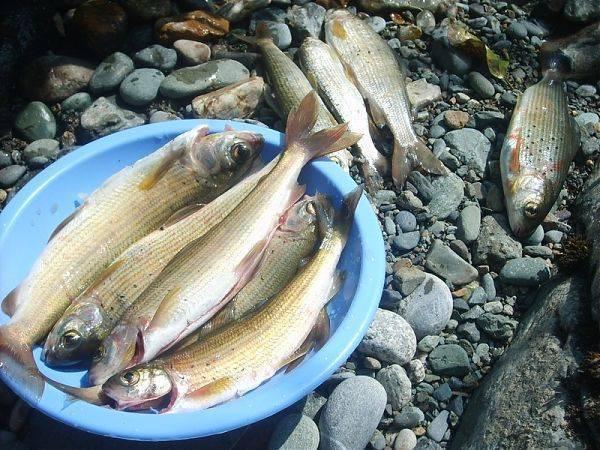 Какая рыба водится в реке катунь на горном алтае | катерина графович | яндекс дзен