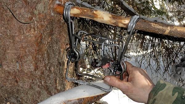 Правила охоты на бобров в разное время года, их особенности и повадки