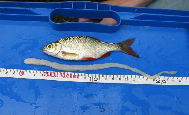 Солитер в рыбе: опасность для человека