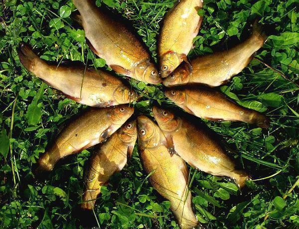 Линь рыба: особенности выращивания и ухода — cельхозпортал