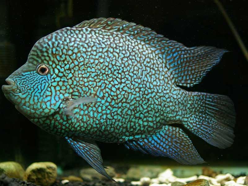 Цихлиды: с кем уживаются в аквариуме, какие другие рыбки подойдут (сомы, скалярии, угри, акары, черные паку)