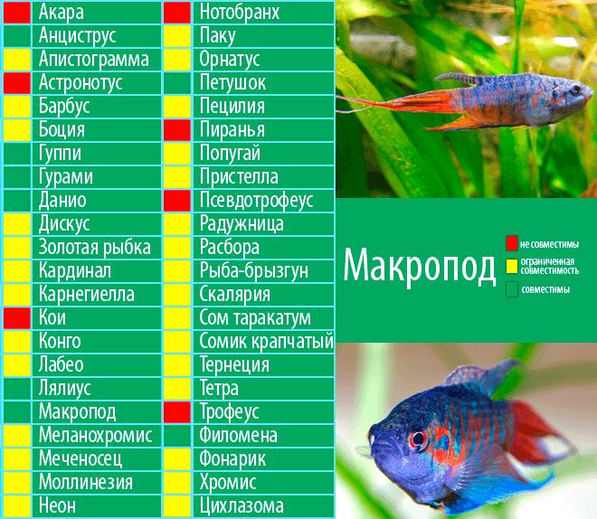 Золотая рыбка: содержание, кормление, как различить и разводить