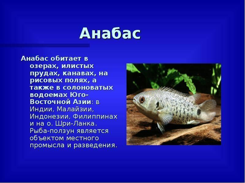 Лабиринтовые рыбки (анабасовые): перечень видов и названий семейства, описания, фото