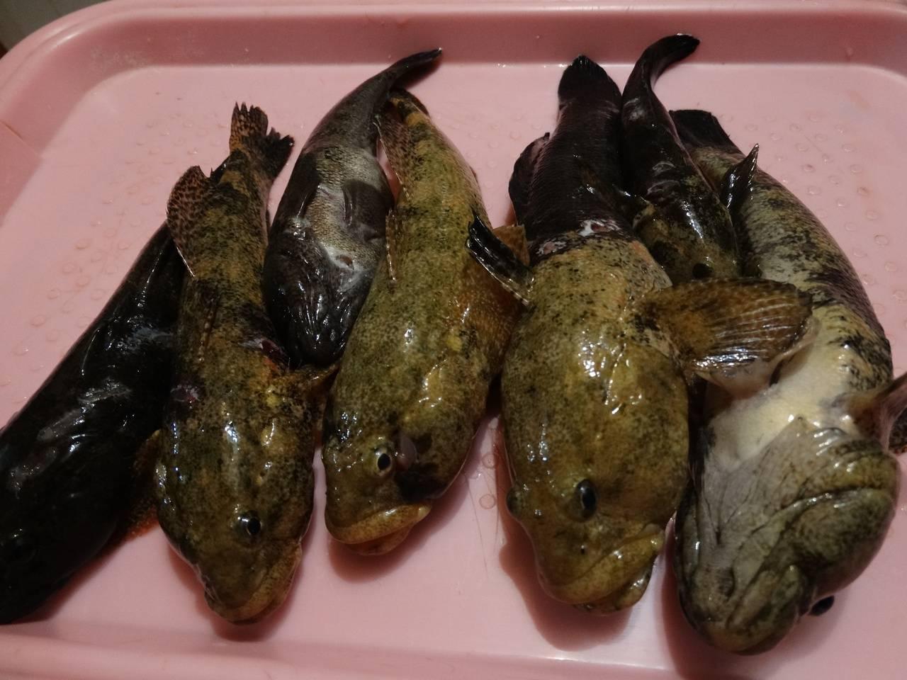 Рыба бычок (морской и речной): на что клюет, как выглядит, особенности ловли