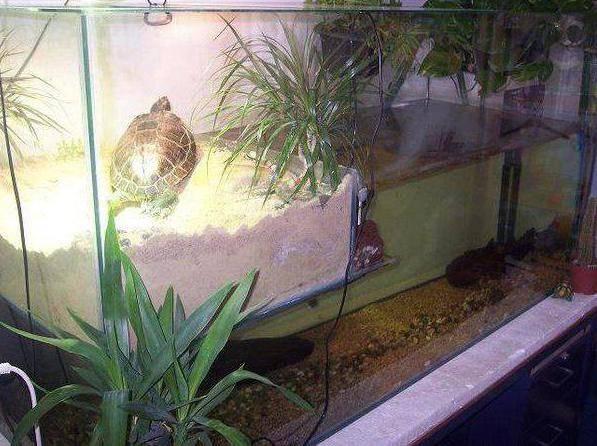 Сколько красноухая черепаха может прожить быть без воды? - твой питомец