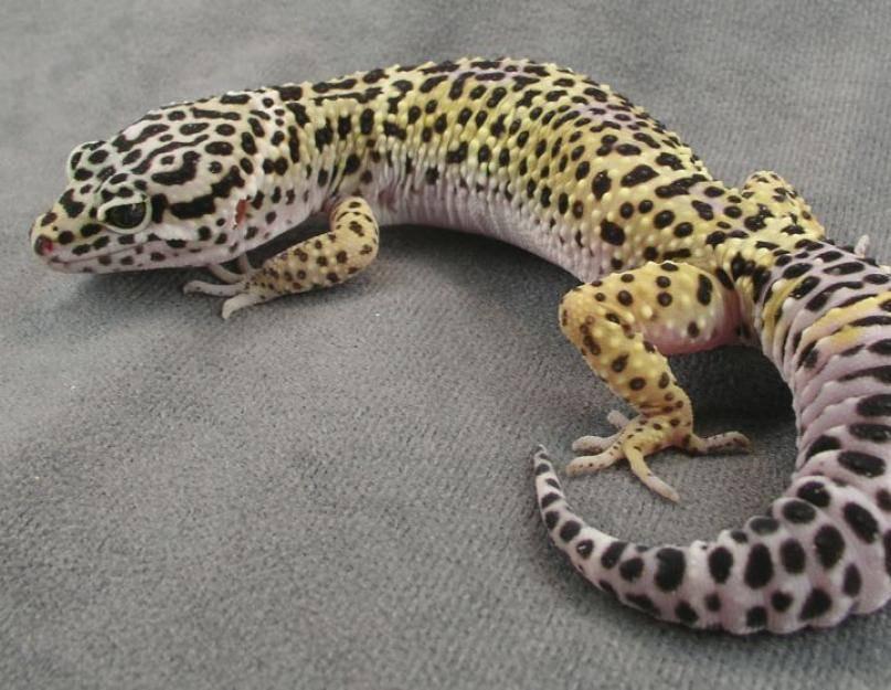 Содержание леопардового эублефара в домашних условиях
