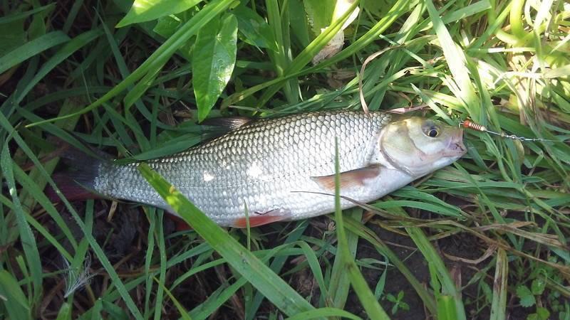 Язь - 70 фото вкусной рыбы обитающей преимущественно в россии