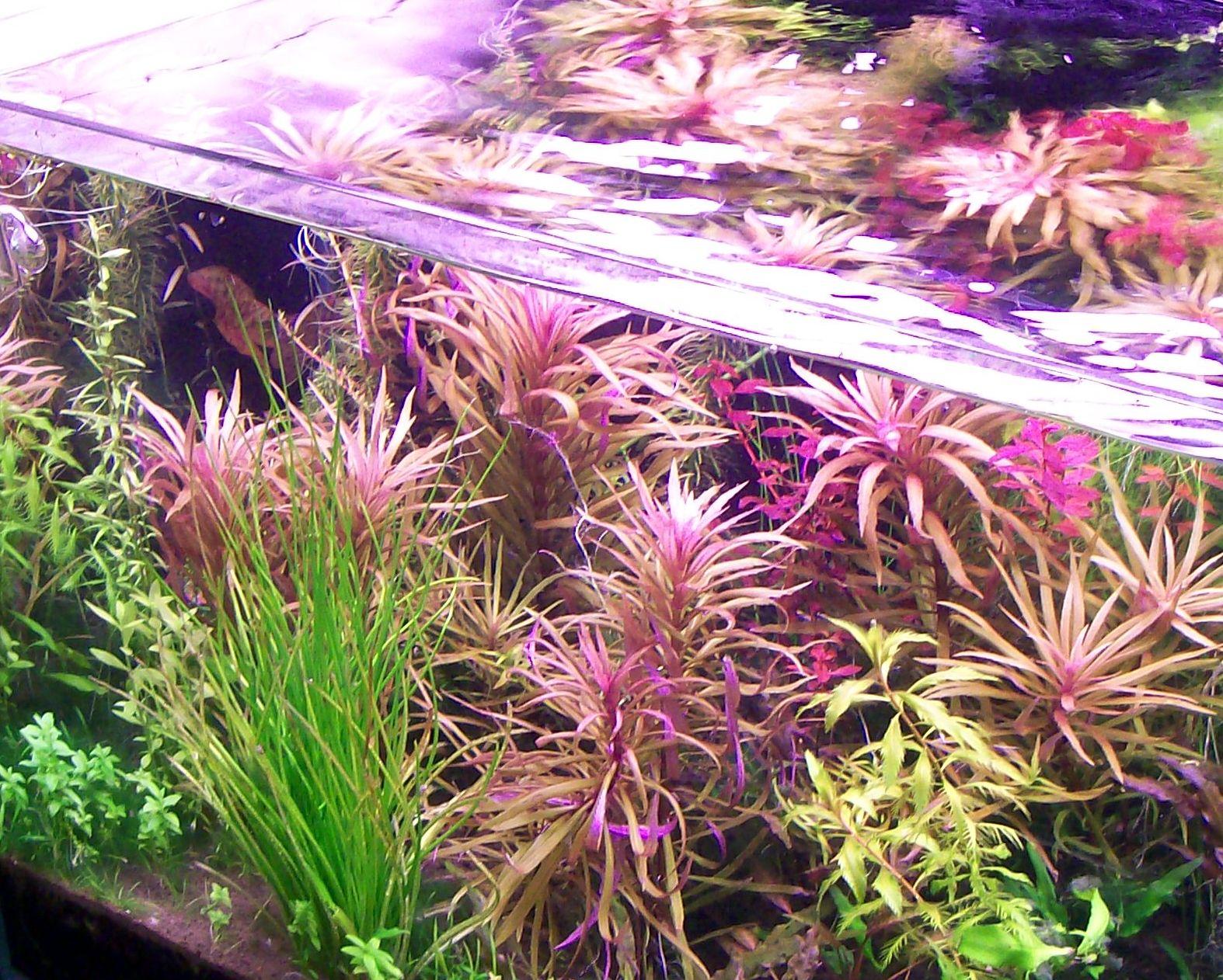 Погостемон стеллатус (звездчатый, октопус) описание растения, размножение, размещение, особенности ухода.