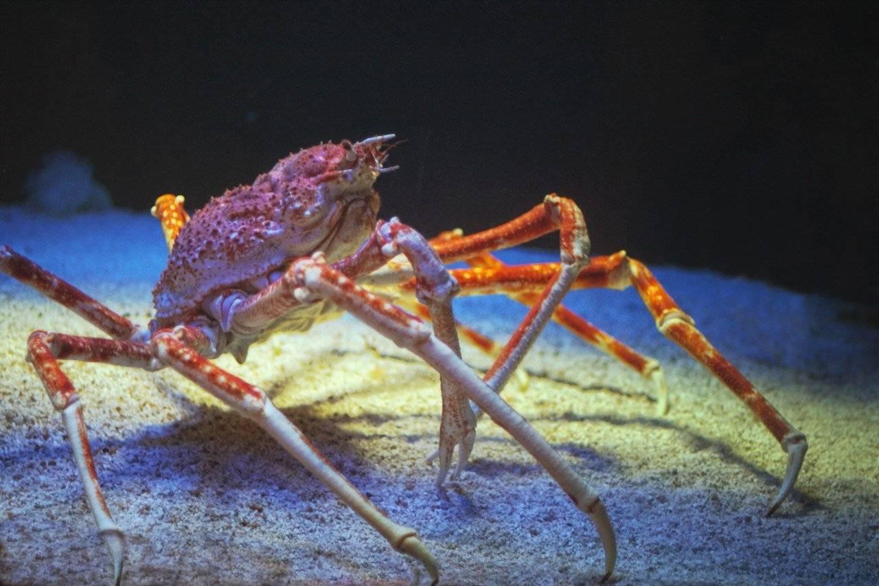 Японский краб-паук - japanese spider crab - qaz.wiki