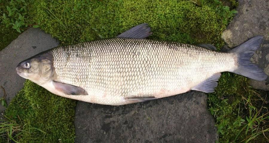 Рыба хамса — описание, виды, ловля и популярные места обитания хамсы (115 фото + видео)