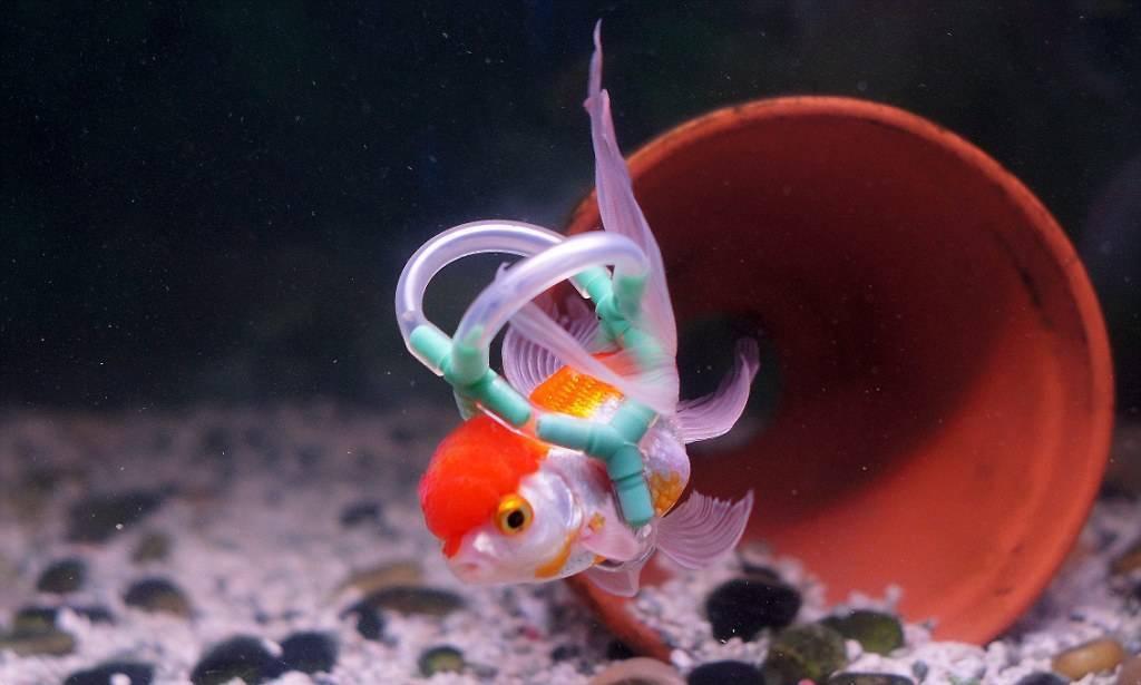 Золотая рыбка плавает на поверхности воды — пузом вверх