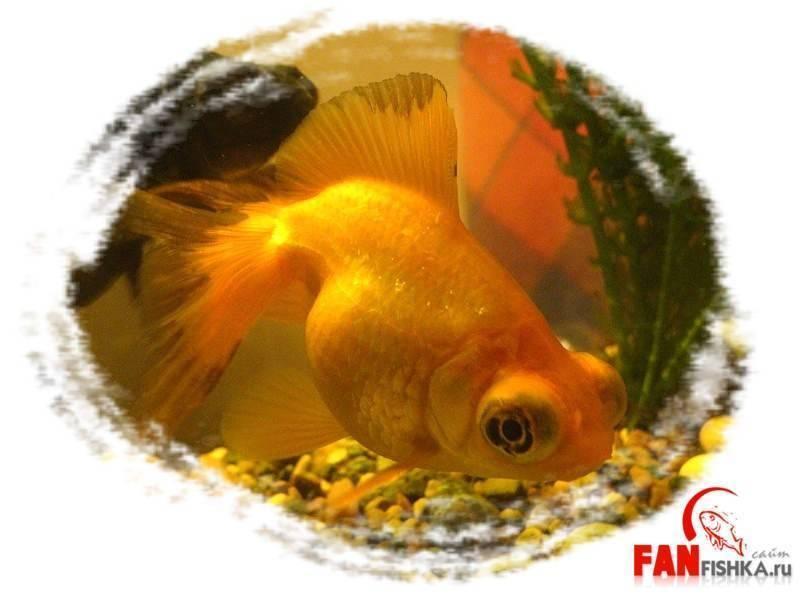 Телескоп (золотая рыбка): содержание и уход, совместимость, фото