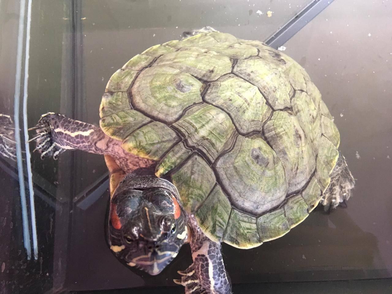 Понос у красноухой черепахи что делать - секреты врачей