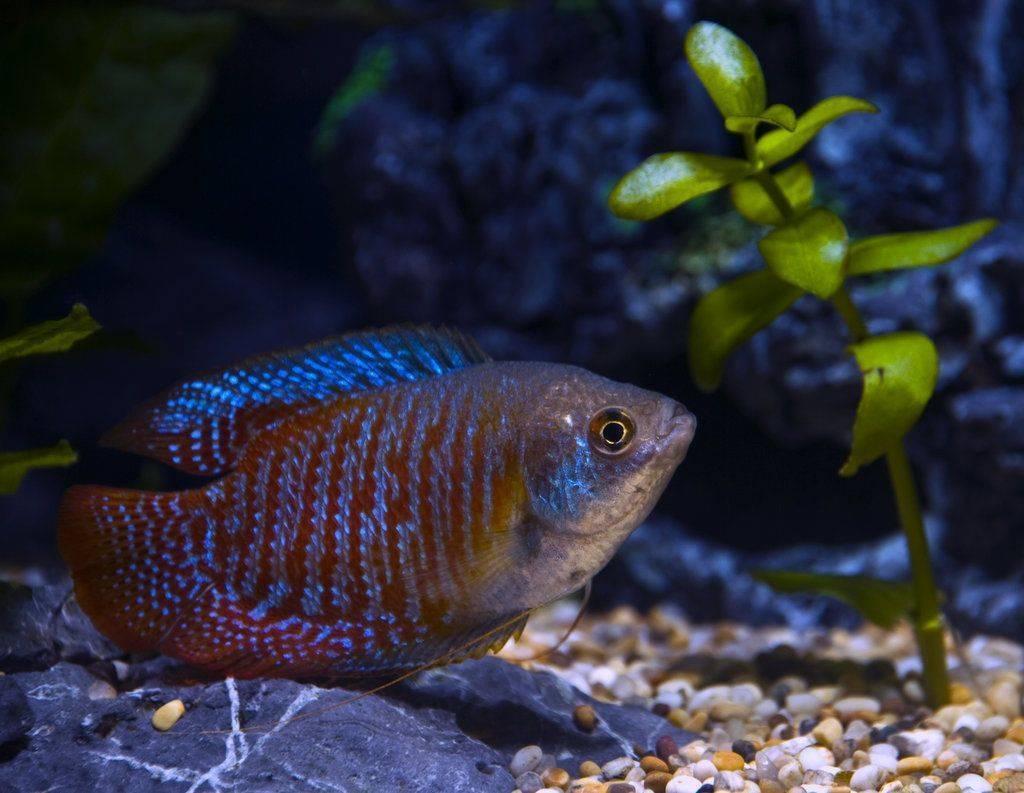 Лялиус: фото рыбки, содержание, разведение, совместимость, видео лялиус: фото рыбки, содержание, разведение, совместимость, видео