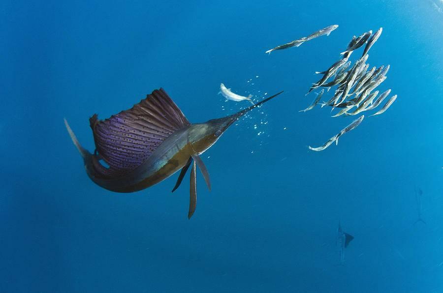 5 самых быстрых рыб в мире параметры и максимальная скорость.