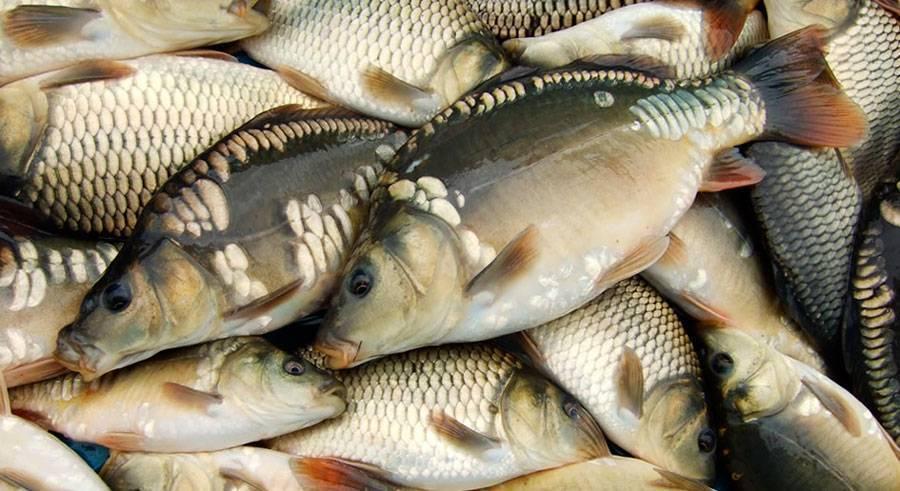 Как организовать бизнес по разведению рыбы на продажу— пошаговая инструкция