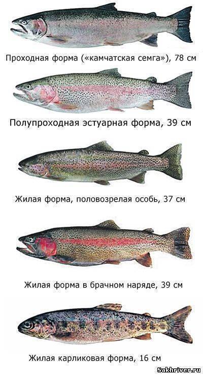 Определение лосося, основные виды рыб, отличия лосося от семги
