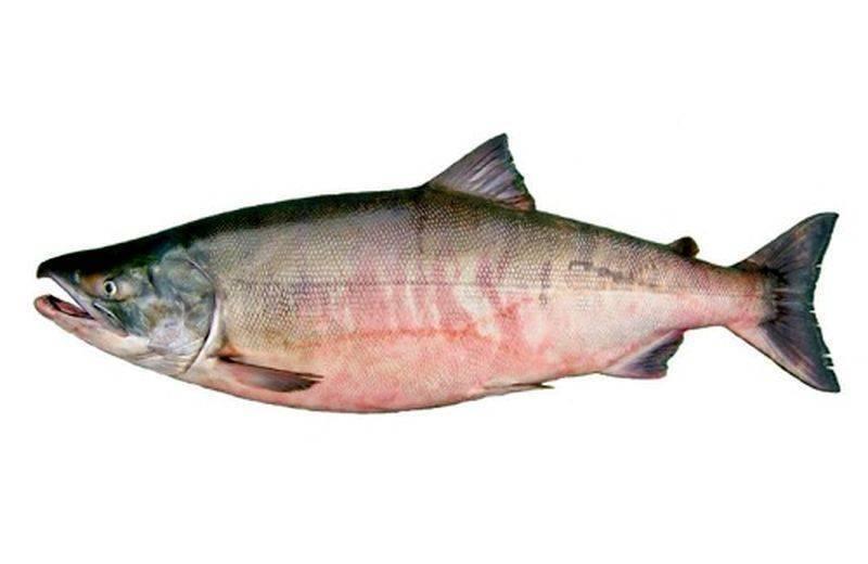 Красная рыба кета – польза и вред, калорийность и химический состав