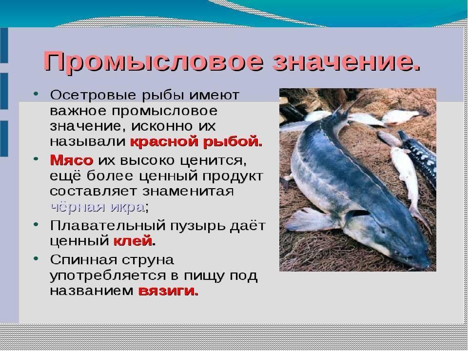 Осетровые виды рыб с названиями, фото и описанием