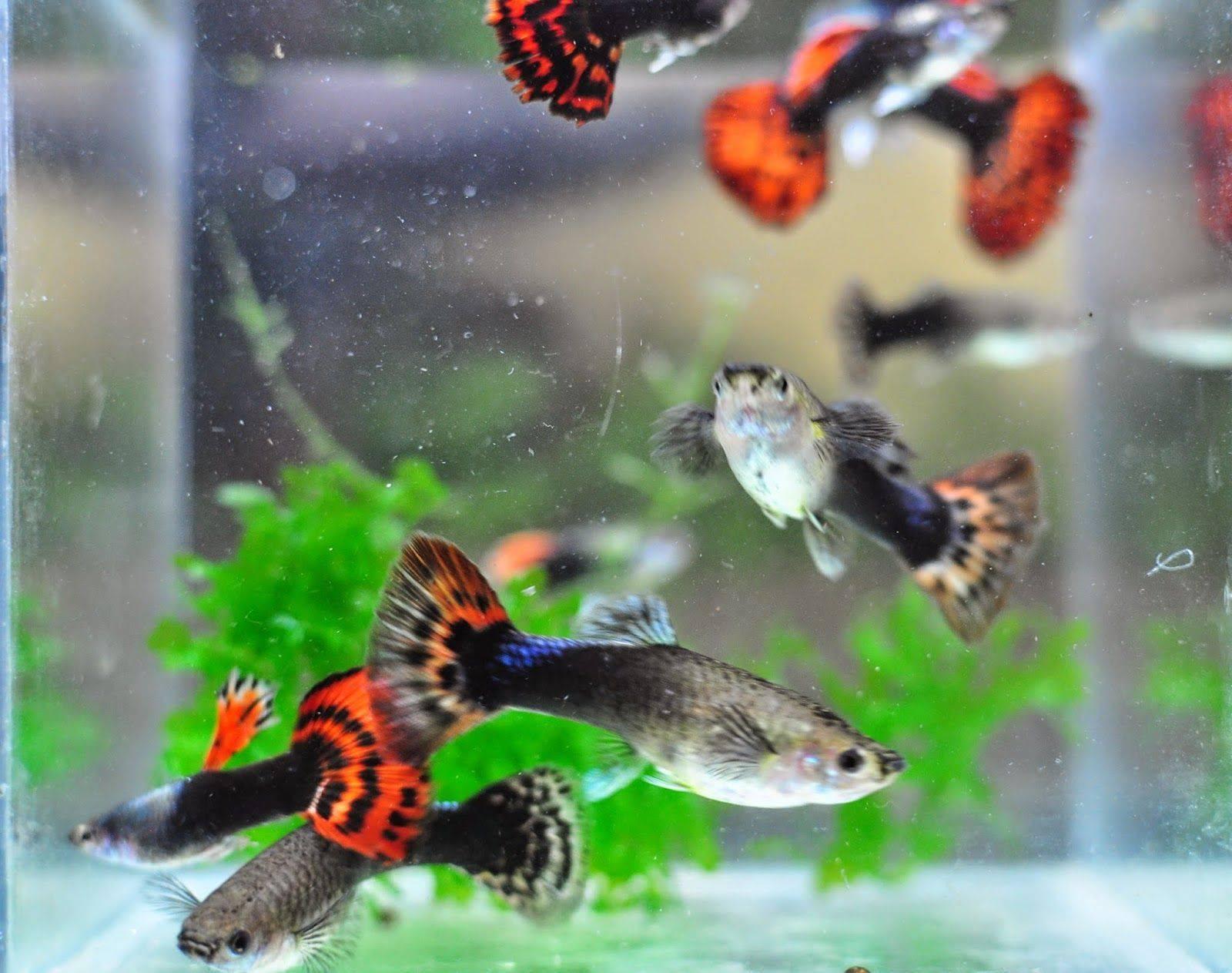Рыбки гуппи: описание, сколько живут, уход и содержание