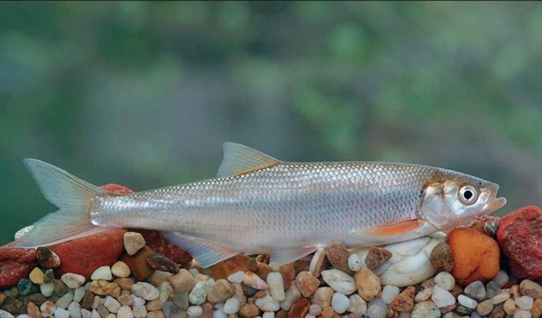 Шемая рыба: описание, чем питается, где водится, образ жизни