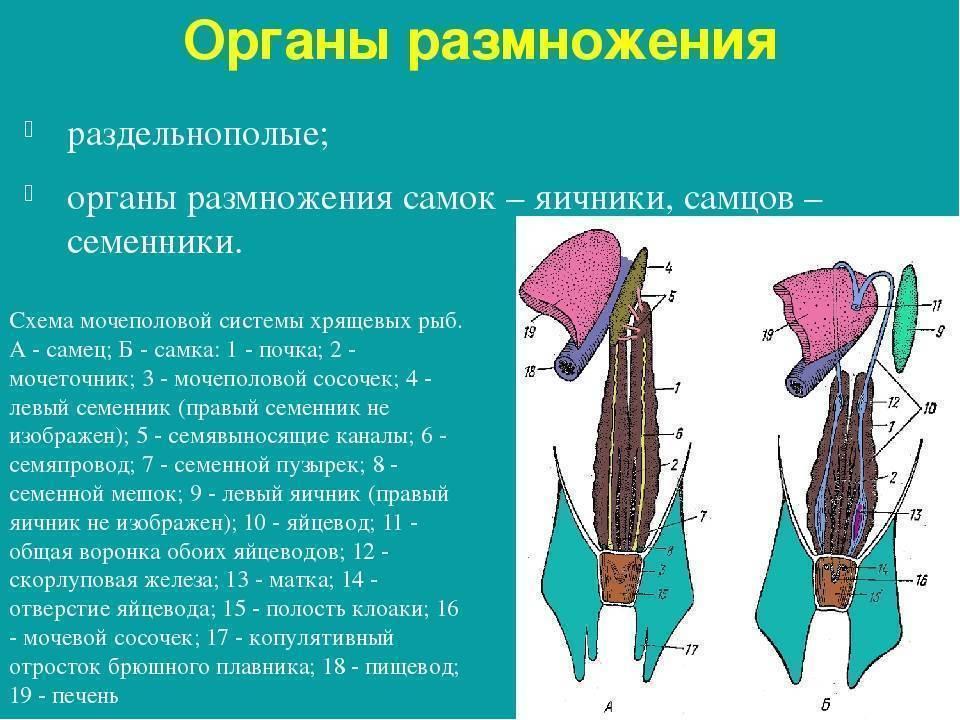 Рыбки гарра руфа: уход и содержание в домашних условиях