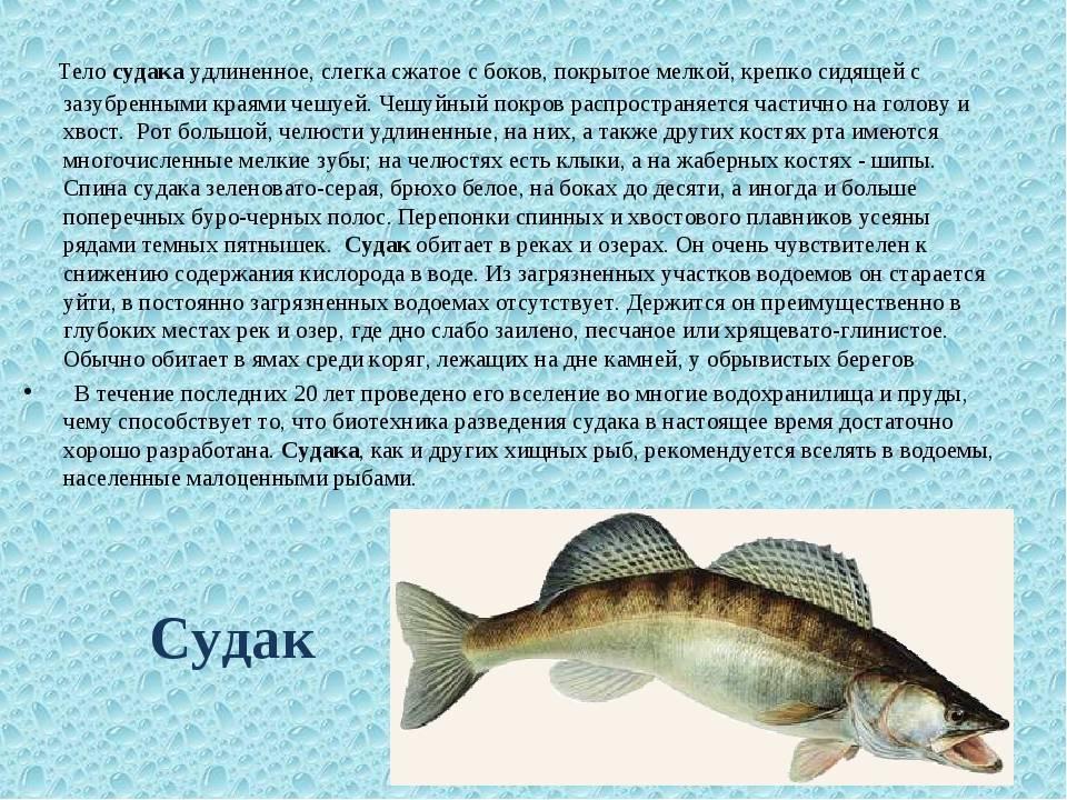 Чем полезна речная рыба карась. почему лучше не есть карася?