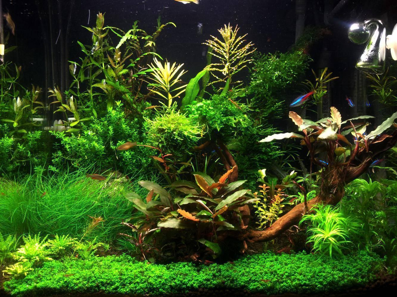 Как правильно сажать растения в аквариуме: с рыбками и без