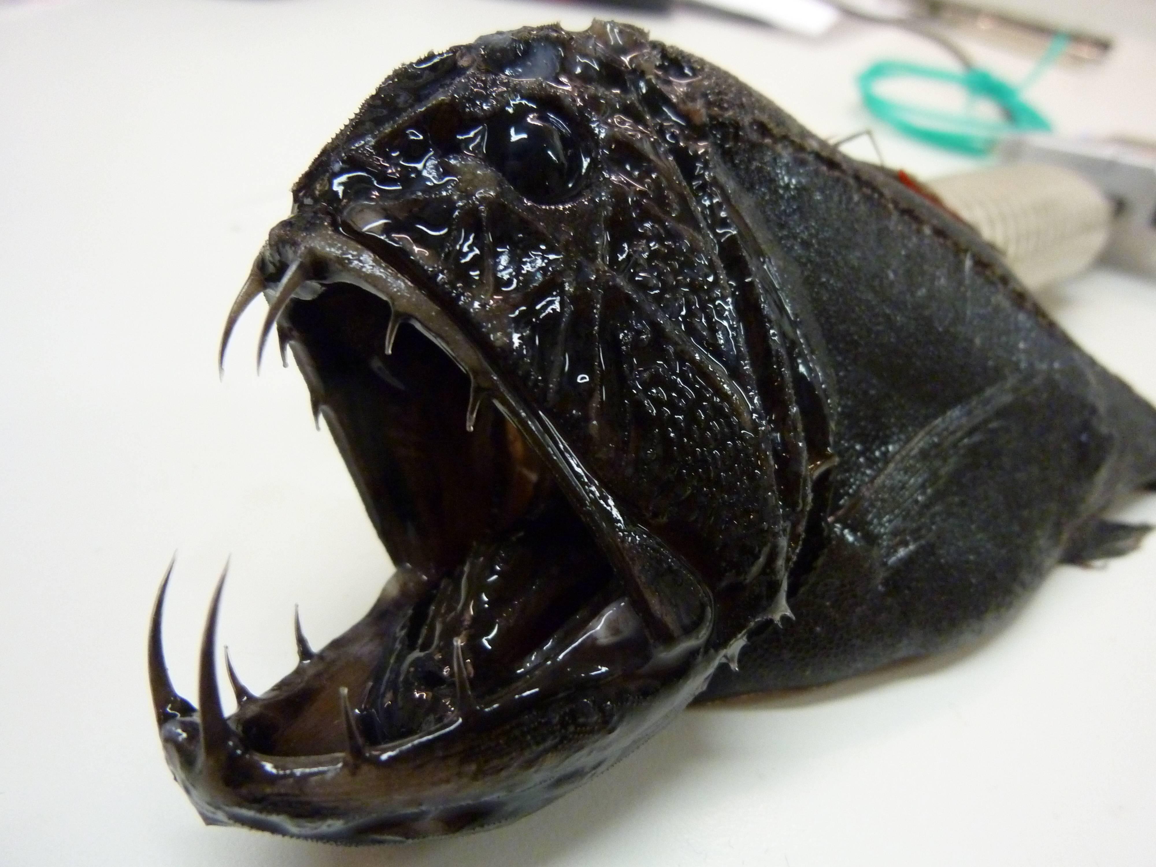 10 самых жутких глубоководных тварей (22 фото) — нло мир интернет — журнал об нло