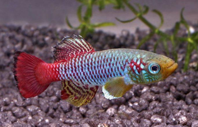 Нанностомус рыбка. описание, особенности, виды и уход за нанностомусом | животный мир