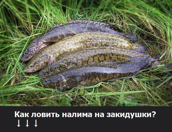Налим – рыба холодной воды
