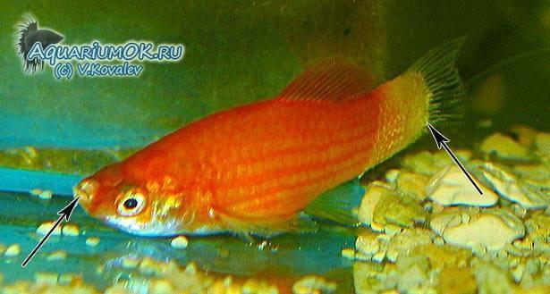 Колумнариоз - заболевания аквариумных рыб
