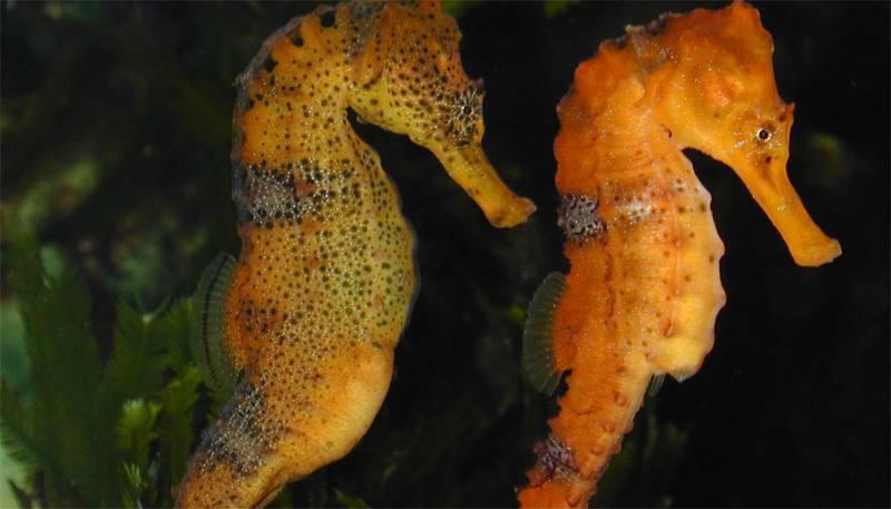 Загадочное существо— морской конек. знакомимся ближе