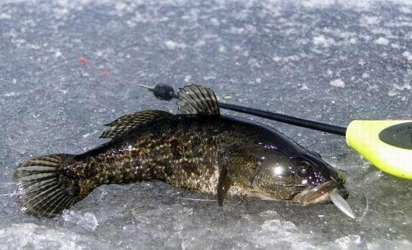 Ловля ротана по первому льду – интересная и результативная рыбалка