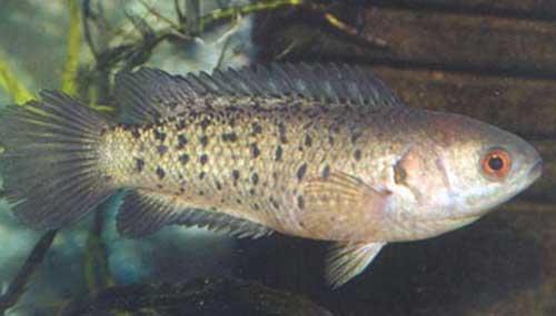 Анабас или рыба-ползун (anabas testudineus)