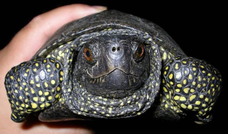 Болотная черепаха - содержание, условия размножения, фото, видео