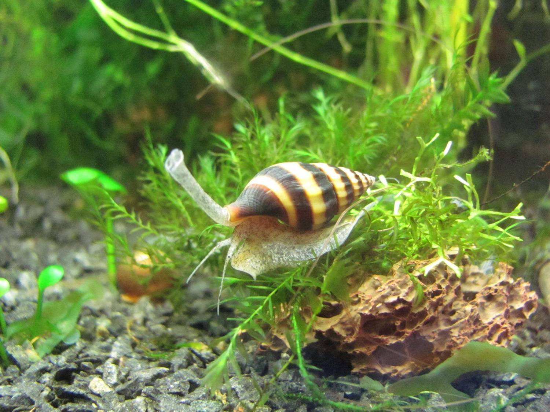Улитка катушка в аквариуме: польза, вред, что едят, как избавиться.