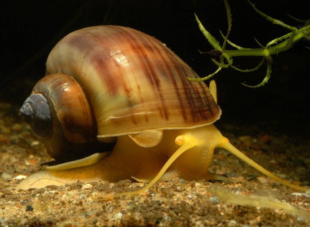 Улитки в аквариуме: описание видов аквариумных улиток, размножение и уход за ними