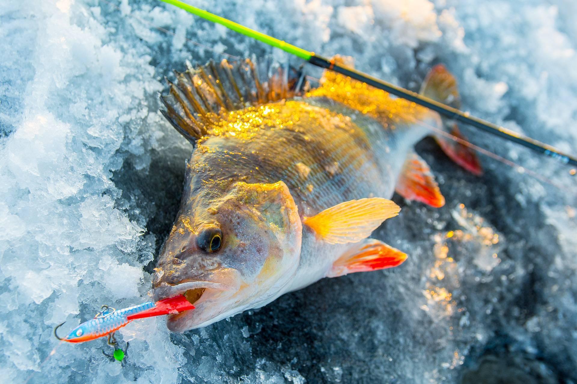 Ловля окуня по первому льду: на что ловить
