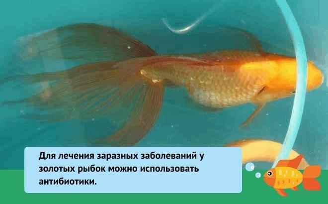 Что делать, если золотая рыбка плавает брюхом вверх