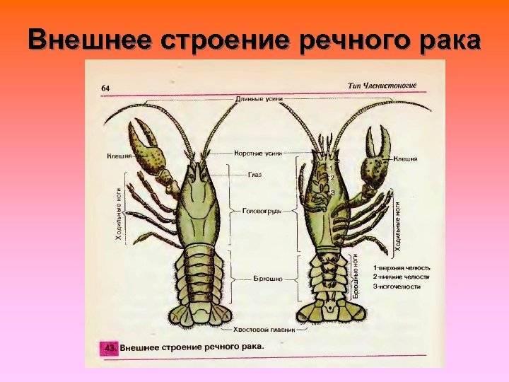 Класс ракообразные биология